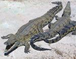 764pxnilecrocodile
